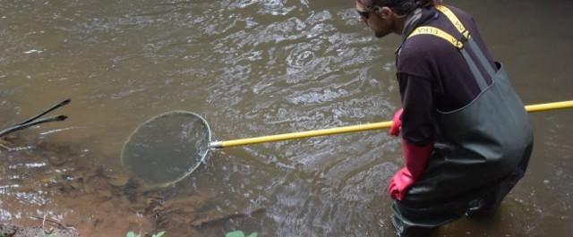 Befischung des Detritus nach Bachneunaugen